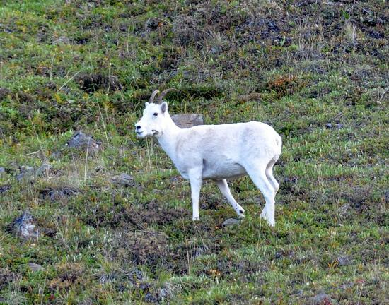 Camp Denali: Dall Sheep spotted on way out of park