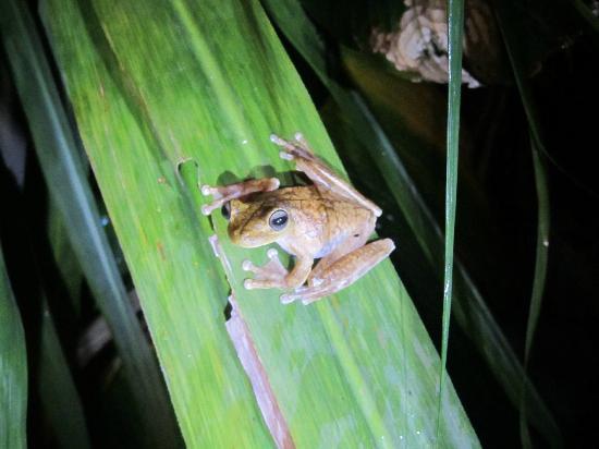 Drake Bay, كوستاريكا: frog 