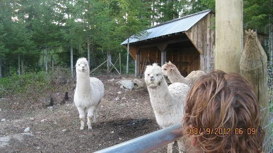 Malahat View Guesthouse: The Alpacas were friendly and curious!