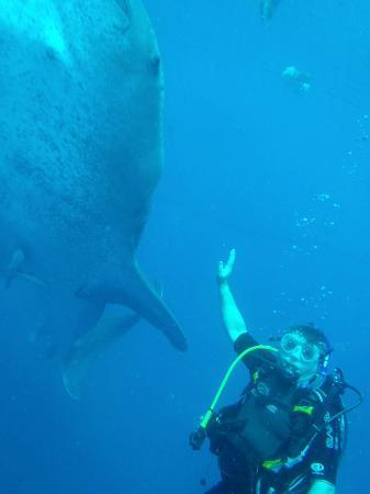 Misaki Diving: The whale sharks are amazingly large!