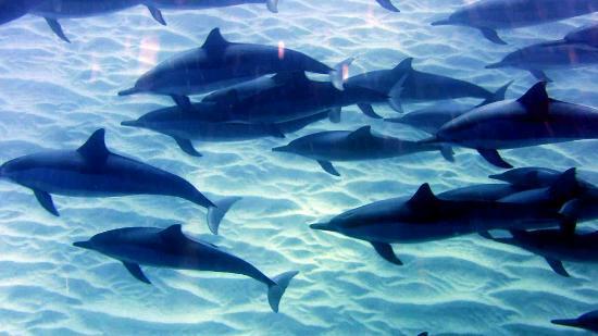 Un bagno con i delfini foto di tamarin bay mauritius tripadvisor - Bagno coi delfini roma ...