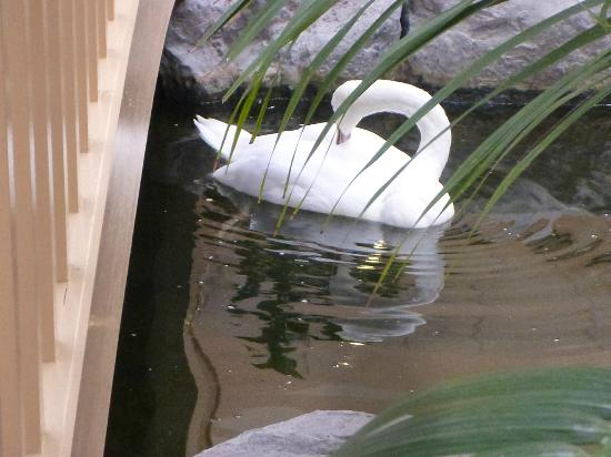 Embassy Suites by Hilton Palm Beach Gardens PGA Boulevard: One of the two swans.