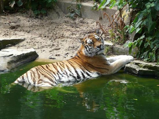 Antwerp Zoo (Dierentuin): TIGRE