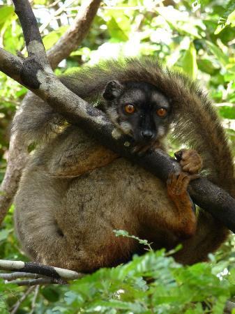 Anjajavy, Madagascar: Lémurien