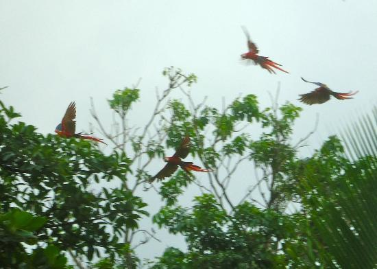Finca Exotica Ecolodge: Scarlet Macaws everywhere