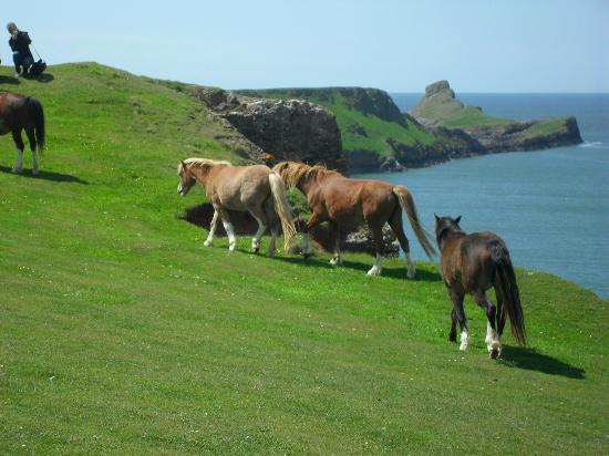 Rhossili Bay : Ponies at worm's Head