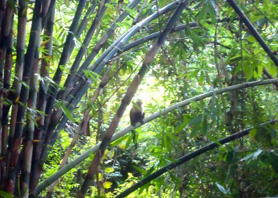 Finca Exotica Ecolodge: Capuchin at breakfast