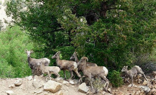 Ores and Mine Bed & Breakfast: Big Horn Sheep just a few miles away