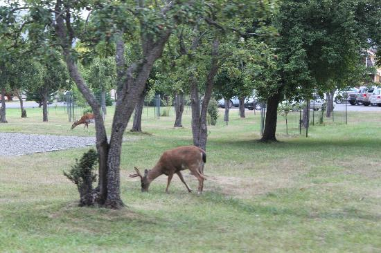 Inn at Ship Bay: Deers on the hotel grounds