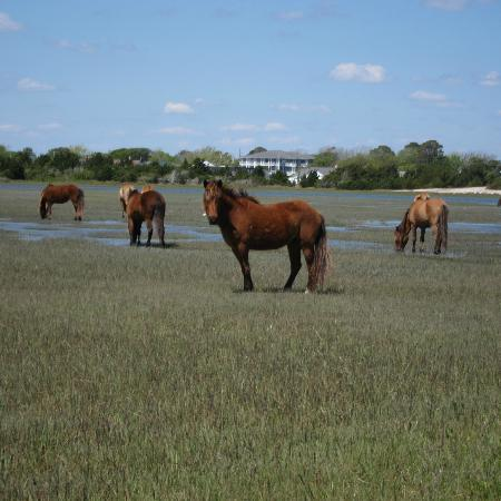 Beaufort, Kuzey Carolina: the horses of Carrot Island