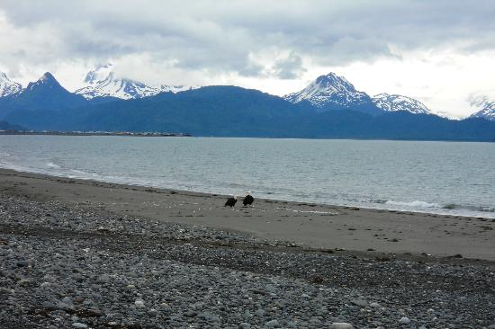 ‪آلاسكا بيتش هاوس: Bald Eagles hunting on the beach below the Alaska Beach House‬