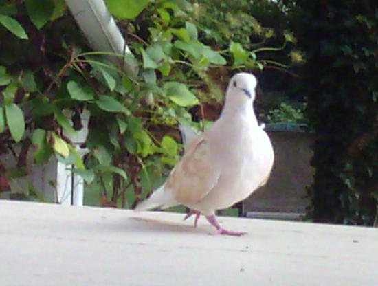 Lovelace Manor Bed and Breakfast: CoCo - Pet Ring-necked Dove