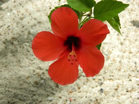 The Catamaran Hotel : Beautiful Hibiscus
