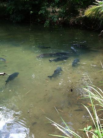 pond - Picture of Catfish Farm, Ao Nang - TripAdvisor