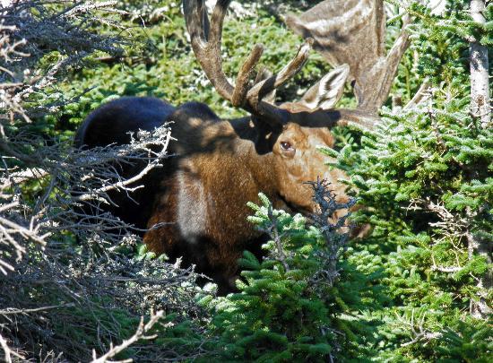 Skyline Trail: Large bullmoose peeking through the trees