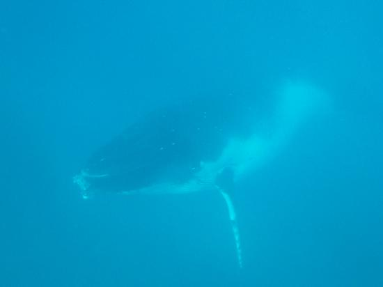 Whale Discoveries : humpback checking us & out gliding by