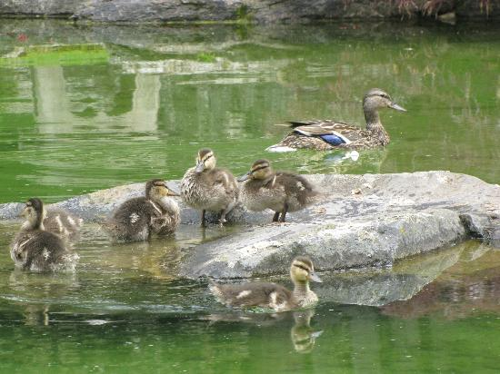 Manito Park: Duck and goslings
