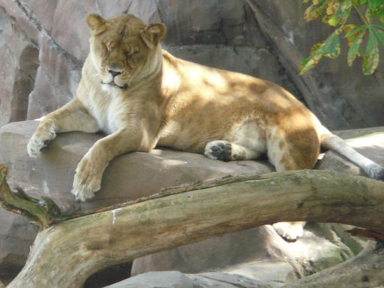 Antwerp Zoo (Dierentuin) : Lionne