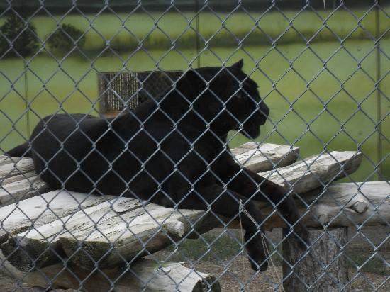 Cat Tales Zoological Park: black leopard