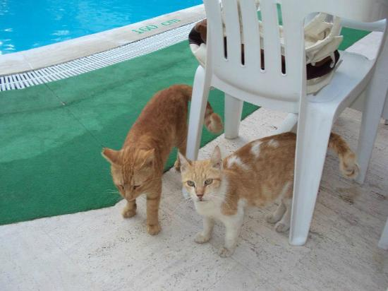 Aslı Hotel: Cats always around the pool and dining area