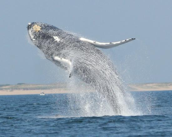 SeaSalt Charters : Humback Breaching