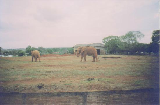 Jardim Zoologico De Brasilia: Elefantes exercitando