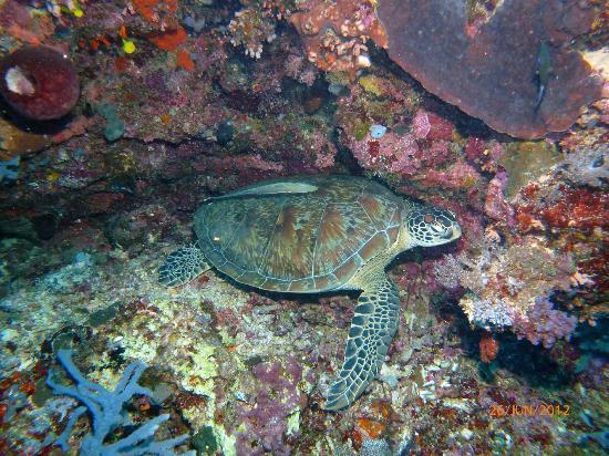 Bunaken Island Resort: Schildkräte bei Turtle city