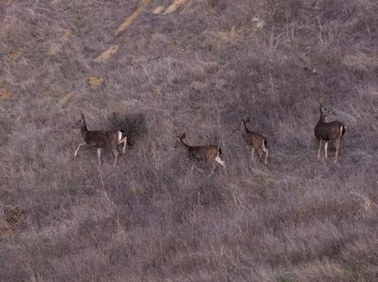 Almaden Quicksilver County Park: deer right off trail