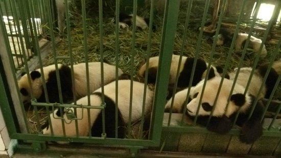 Giant Panda Breeding Research Base (Xiongmao Jidi): Pandas inside their Cave