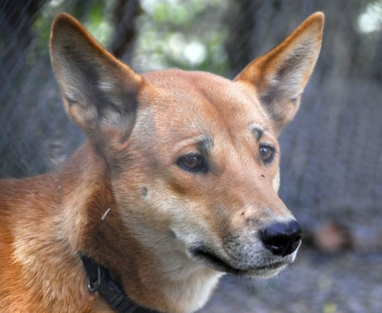 Daintree Wild Zoo: Dingo