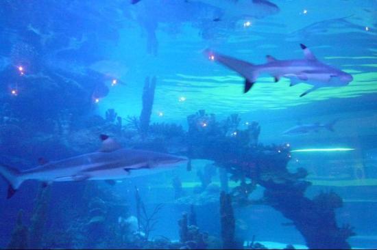Dillon's KC BBQ Thunderbird : Black-tip Reef Sharks