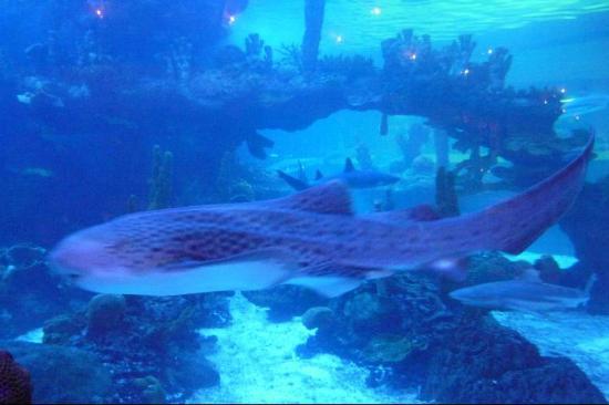 Dillon's KC BBQ Thunderbird : Zebra Shark