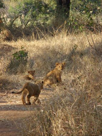 Chisomo Safari Camp: Lion cubs