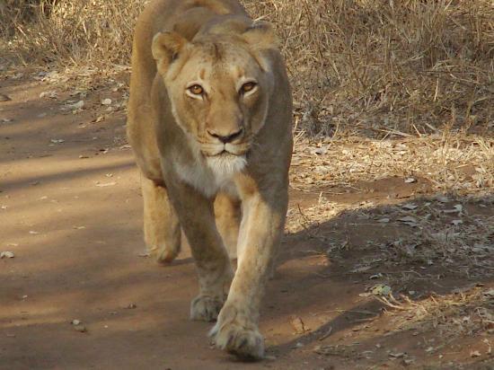شيسومو سافاري كامب: Female lion walking towards our truck