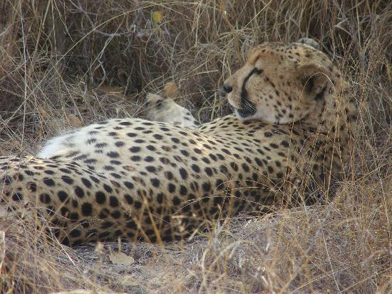 Chisomo Safari Camp: Up close with a Cheetah on a walking safari