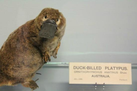 Citi Hostels: platypus in museum of national history