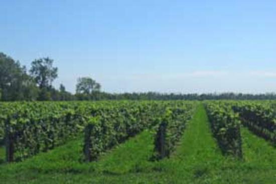 Pelee Island Winery: Pelee Is. vineyards