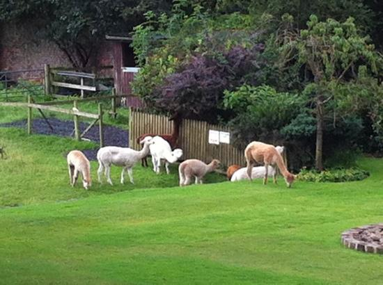 Singleton Lodge Country House Hotel: The alpacas on the fields