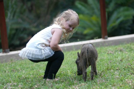 Amakhosi Safari Lodge: young house guest with the baby Warthog