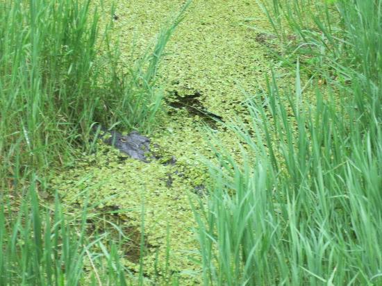 Highlands Hammock State Park: A gator