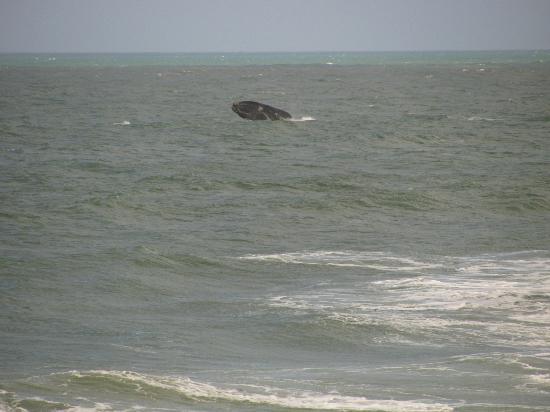 Pousada Penareia: Baleia Franca bem próximo à praia da Armação.