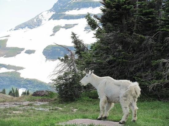 Hidden Lake: Mountain goat beside the trail.