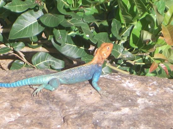 Fairmont Mara Safari Club: Beautiful lizards and pretty big too.