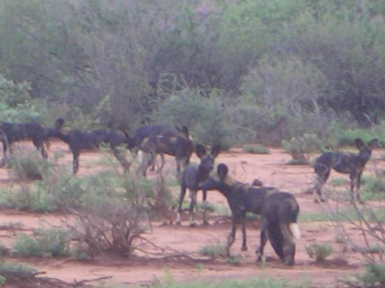 Fairmont Mara Safari Club: Quite rare to see a pack of wild dogs