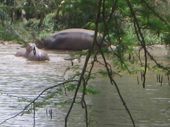 Fairmont Mara Safari Club: Hippos by the corner