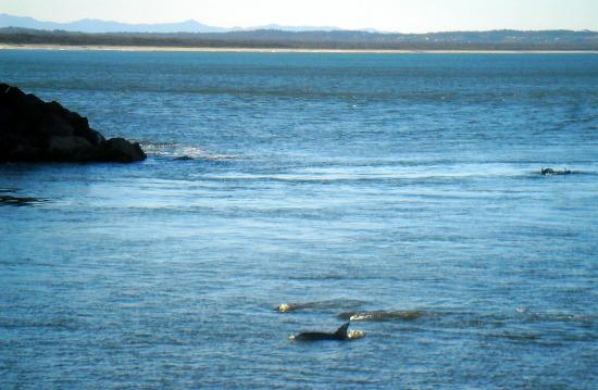 Golden Sands Motor Inn: pods of dolphins frolicking near beach and breakwater