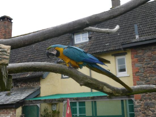 Exmoor Owl & Hawk Centre: free flying parrots.. they aren't tethered