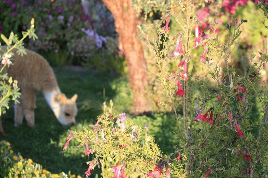 Hotel Isla Suasi: Baby alpaca