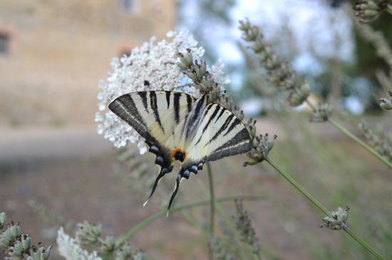 Bio Agriturismo Il Cerreto: farfalla
