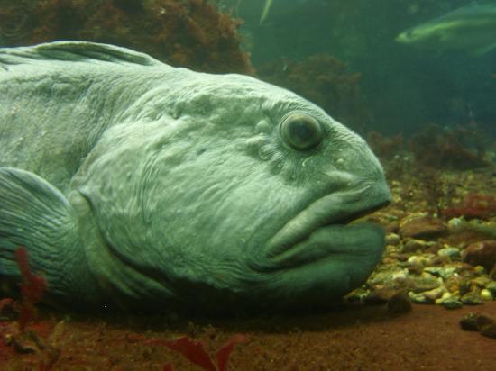 Wolffish - Picture of Bergen Aquarium, Bergen - TripAdvisor